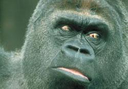 Koko, QI de 90 et star de cinéma