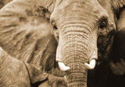 Starlet, artiste-peintre éléphantesque