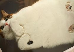 chat, obésité